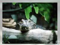 Игра Alligator