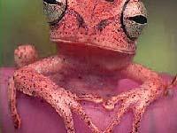 Игра Red frog