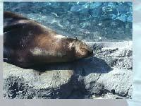 Игра Sea lion