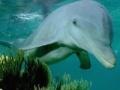 খেলা Dolphin